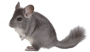 chinchilla-1